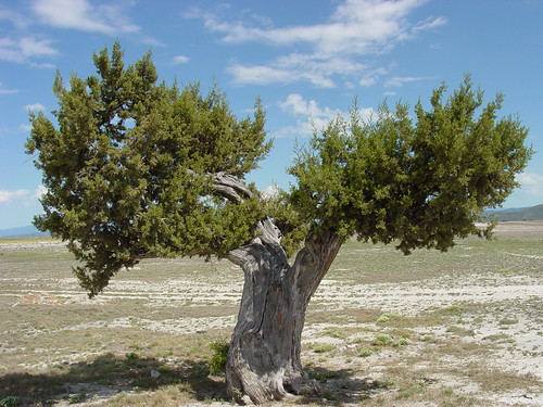 Enebro (Juniperus monosperma) | by * Hi Tech Bio *