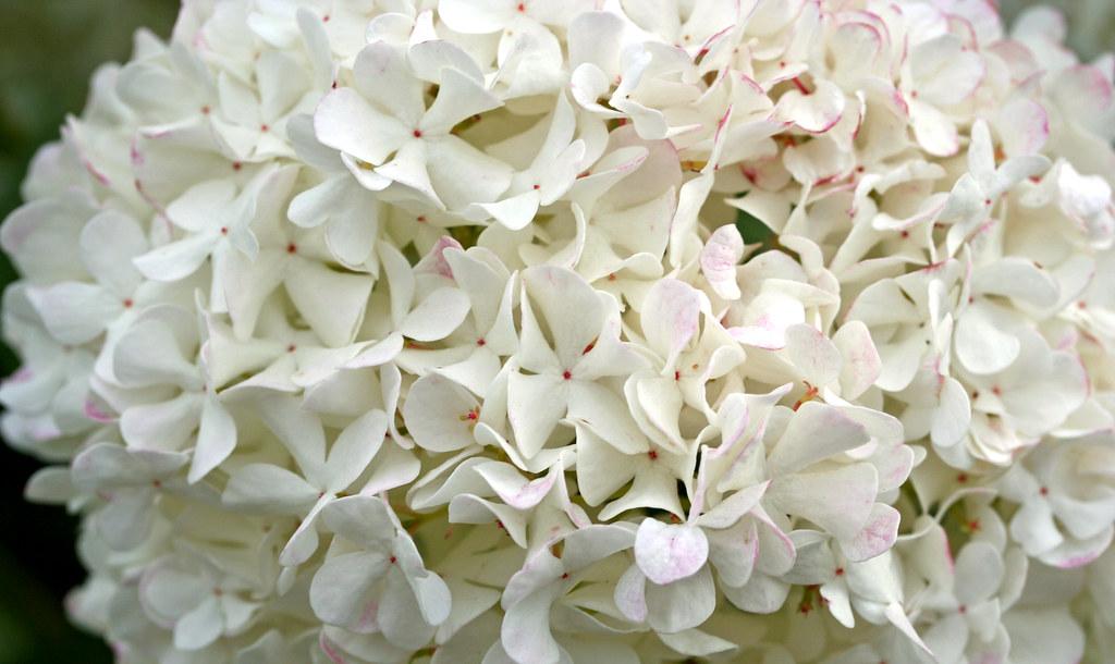 Fleur Boule Blanche Laurent Kb Flickr