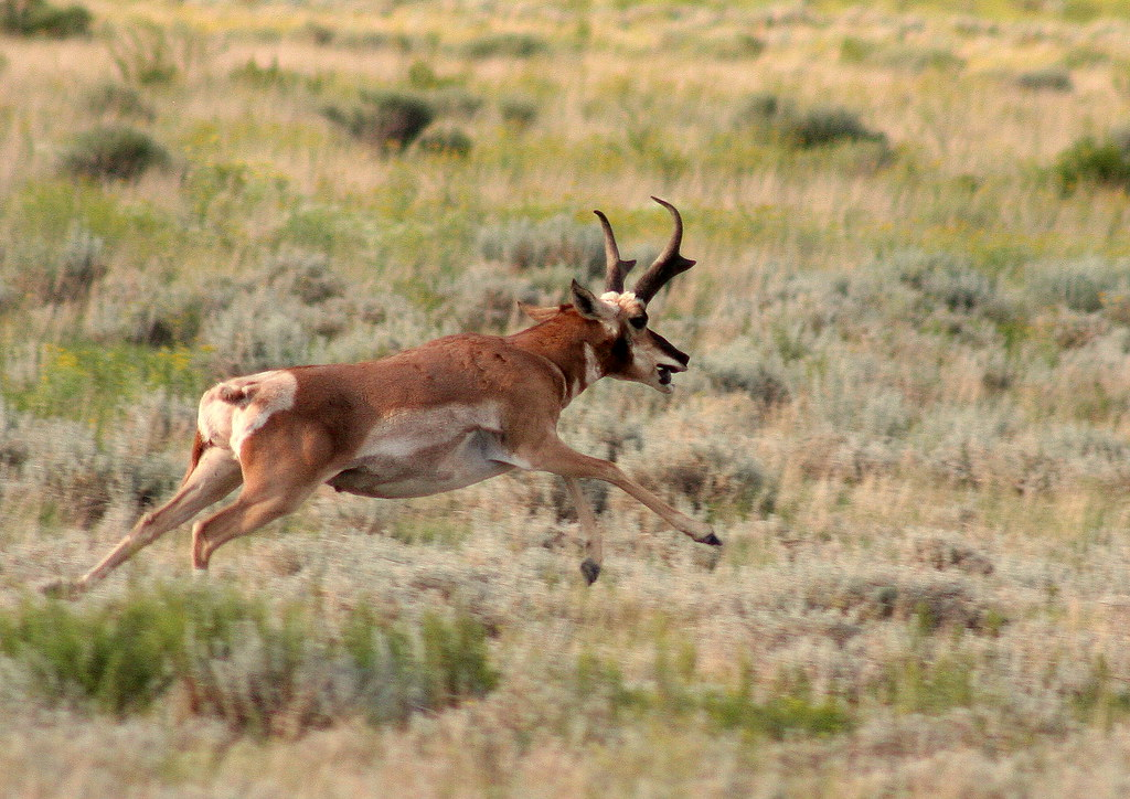 Image result for Antelope gallops