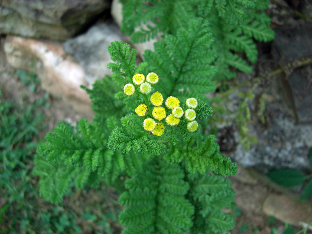 What are flowers similar to a fern, as they are called, a photo