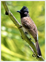 Red vented bulbul | by kcbimal