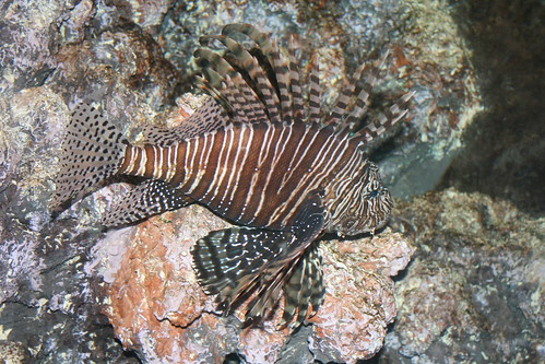 Roar lion fish cleveland metroparks zoo val flickr for Cleveland metroparks fishing report