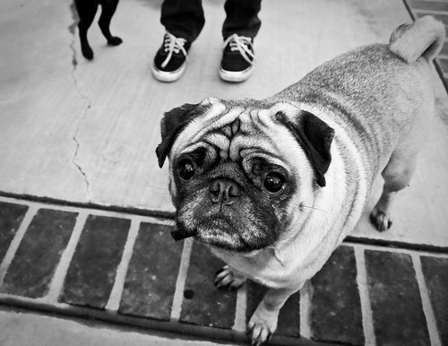 Pug | by A Silly Person