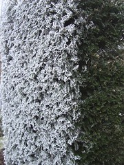 Frosty Yew | by James's GW Blog