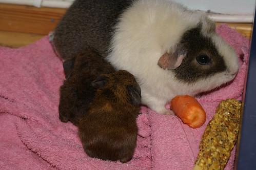 Baby Guinea Pigs For Sale Virginia Beach
