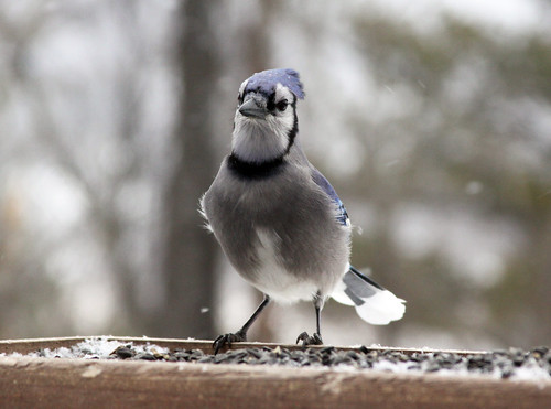 Blue Jay at my feeder | by Laura Erickson