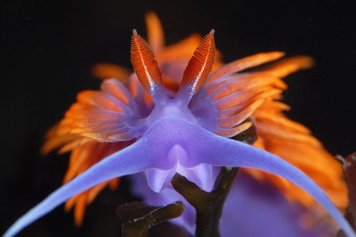 Flabellina iodinea - Spanish Shawl | by cerberilla