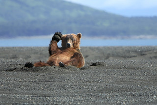 Alaskan Coastal Brown bear.....2 | by Alan Vernon.