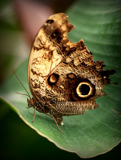Owl Butterfly | by -terry-
