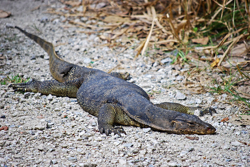 It's not a croc, it's a malayan water monitor lizard | by IngeHG