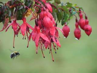 Ireland > West Cork > Fuschias | by cellartours
