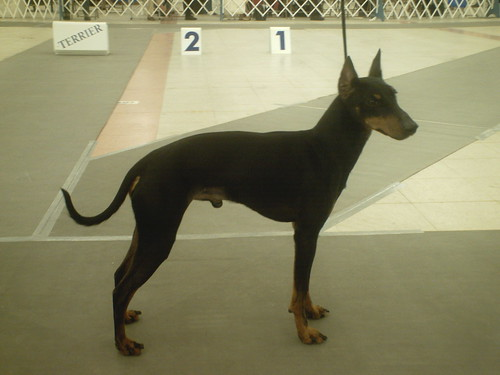 Standard Manchester Terrier | by Don Andres!! ;)