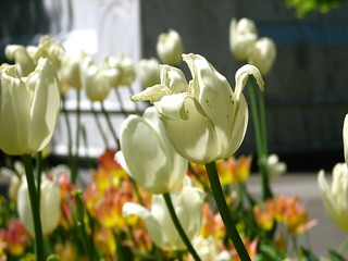 White Tulips | by lamintak