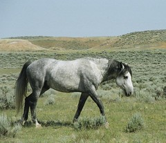 The Stallion | by Elstad Ranch