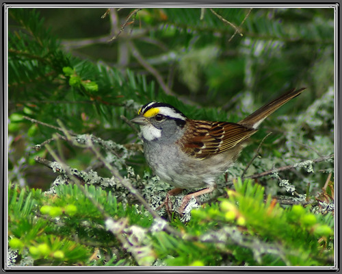 White-throated Sparrow | by byard