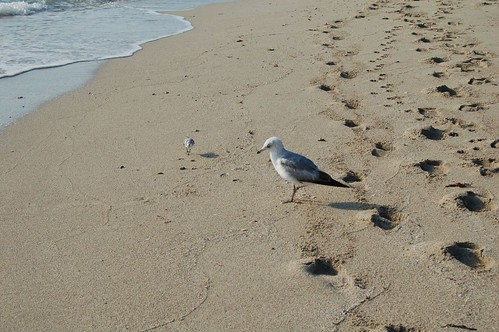 Gull and Piper on well-trodden sand | by jungle mama