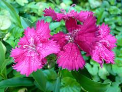Oeillet de chine au fond de mon jardin fleurissent les - Oeillet de chine ...