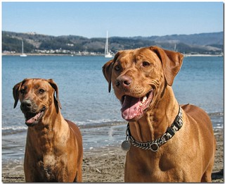 Going Steady | by MyRidgebacks - Sharon C Johnson