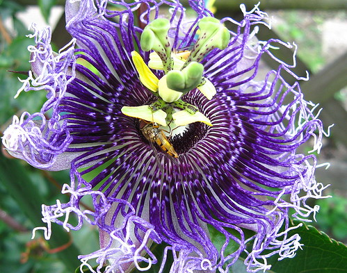 Passiflora Byron Beauty | by Karabelso