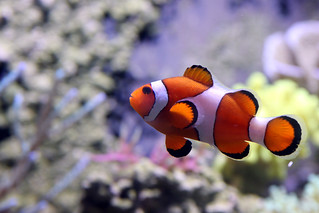 Kelly Tarlton's Antarctic Encounter - IMG_7160.jpg - Clown Fish | by Bruce Tuten