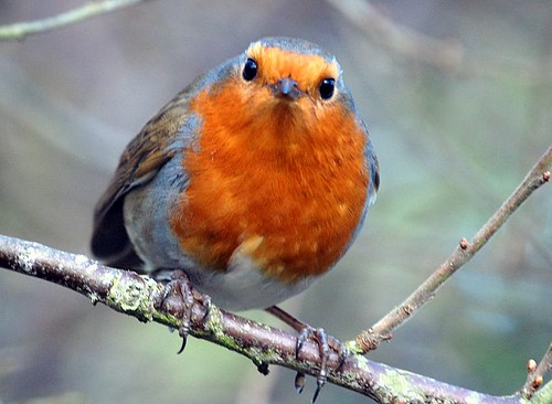 robin looking at me | by coral.hen4800