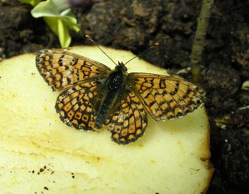 Papillon sur une pomme une vid o a video thomas bresson flickr - Pomme papillon ...