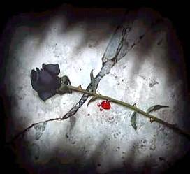 Black Rose Blood Drop Iampaulabearski Flickr