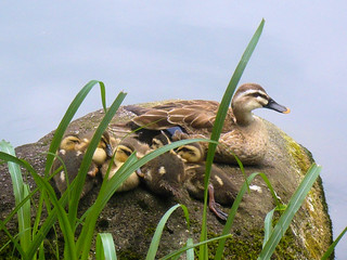 Ducklings and their mother | by DocChewbacca