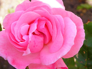 Pink Rose | by norbet1