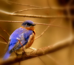 Mr Bluebird | by bahketni