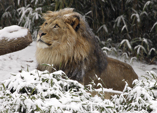 Lion at National Zoo | by Smithsonian's National Zoo