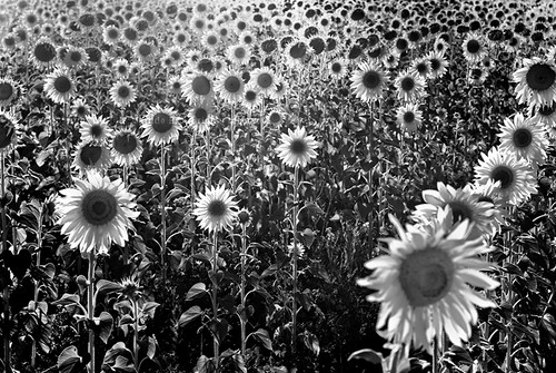 143 Sunflowers A Break From Colorful Fields My Award Flickr