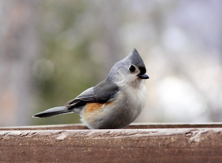 Tufted Titmouse at my feeder | by Laura Erickson
