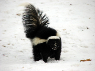 Striped Skunk | by Petroglyph