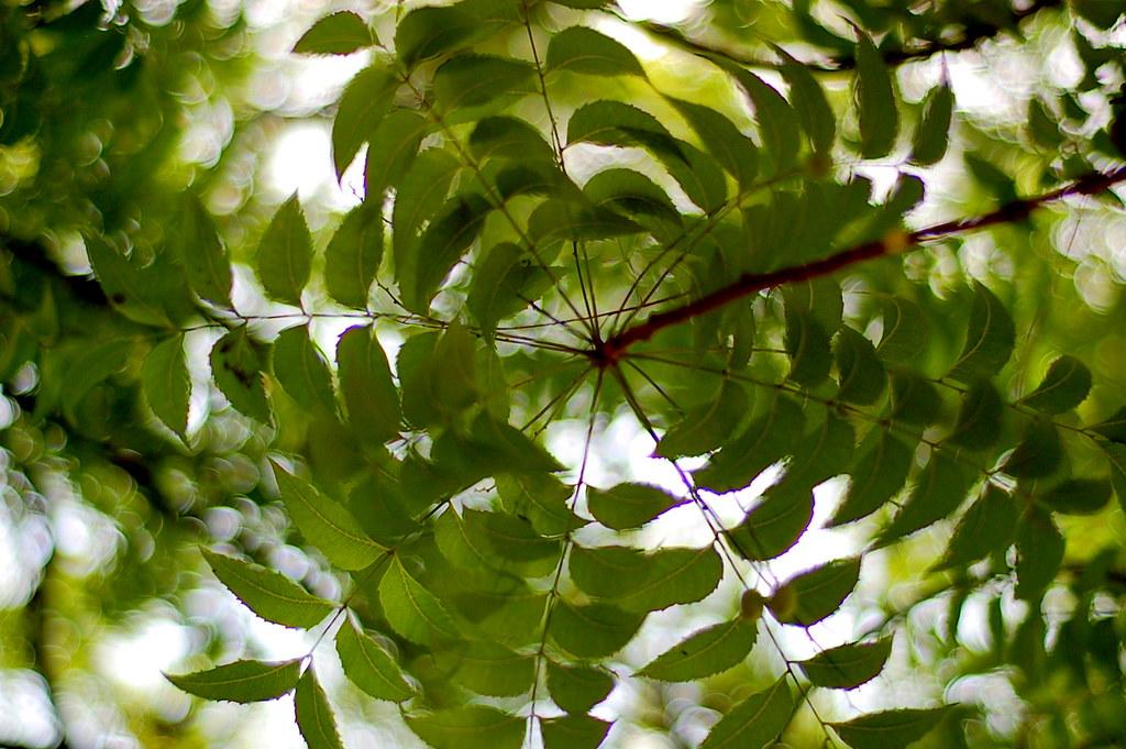 neem ka ped the social encyclopedia neem ka ped neem ka ped taken at hyderabad palace campus english na flickr
