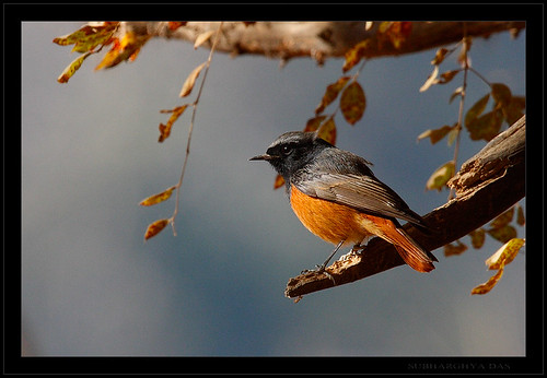 Black Redstart | by Supriya & Subharghya