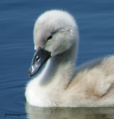 Cygnet | by forbesimages