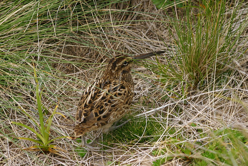 Auckland Island Snipe 11058 | by Clutha Photos