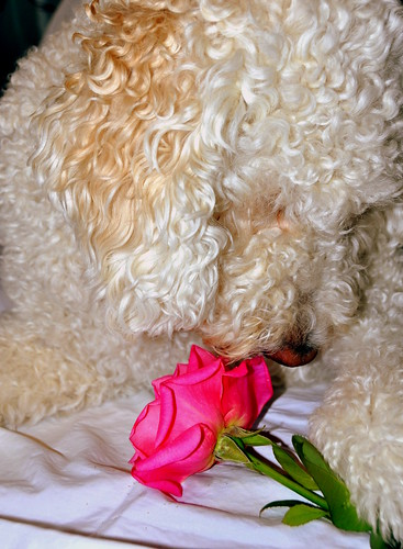 Doodle & Rose | by Kristen Fletcher Photography