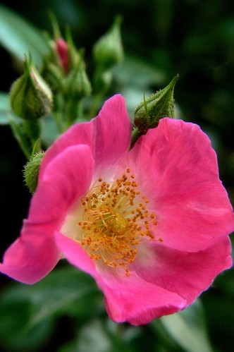 Wild Prarie Rose | by Wayfaring Wanderer