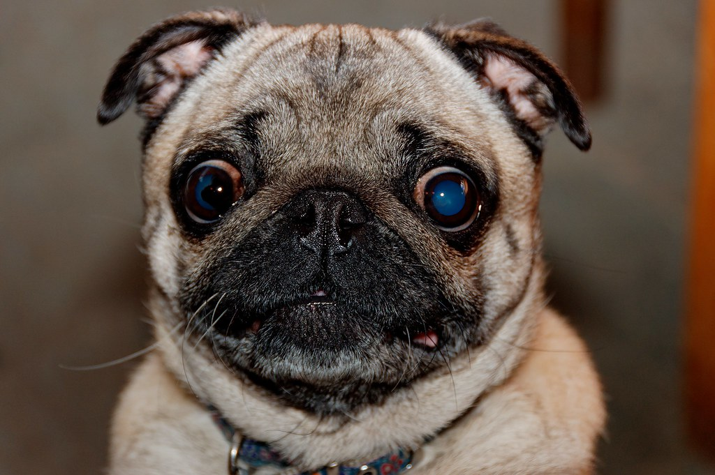 Pug Dog Name Piglet Generally I Do Not Like Small Dogs Alex