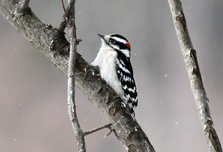 Downy Woodpecker in the snow | by Laura Erickson