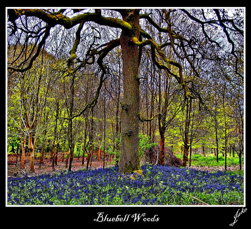 Bluebell Woods | by JAKE473