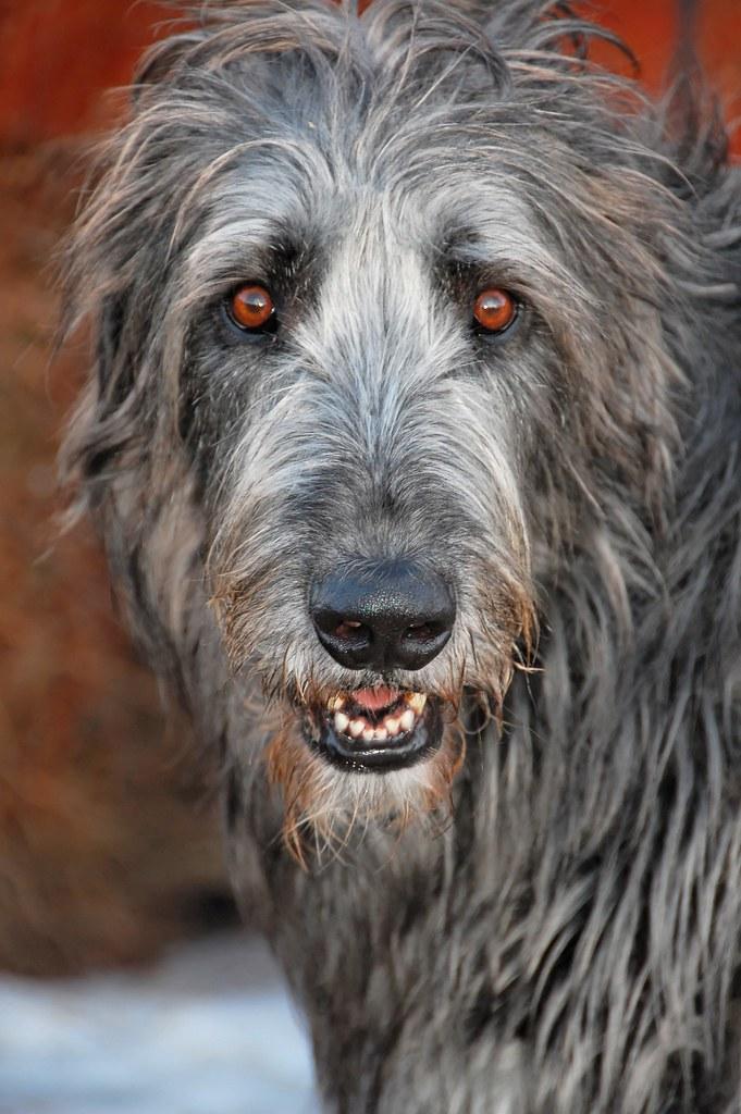 Картинки злые собаки волкодавы, посмотреть отправленные