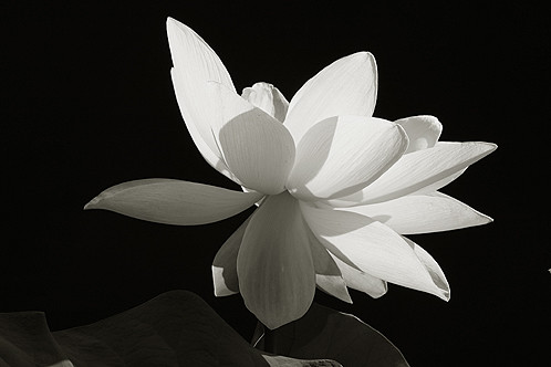 White lotus flower on black by bahman farzad