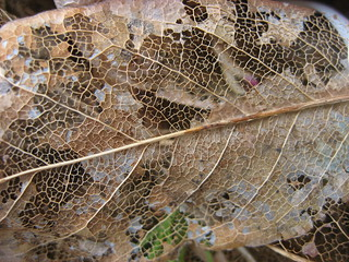 Lignin Leaf Skeleton | by Plant Design Online