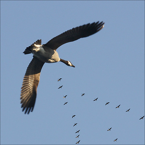 Wait for me, Honk, Honk… Canada Geese flying home | by NaPix -- (Time out)