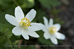 White Windflowers | by Christian Doenges
