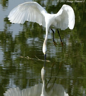 Snowy Egret Plucking Up Nesting Material | by Image Hunter 1