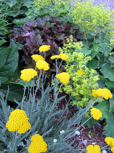 Achillea And Lady 39 S Mantle Every Week There Are New